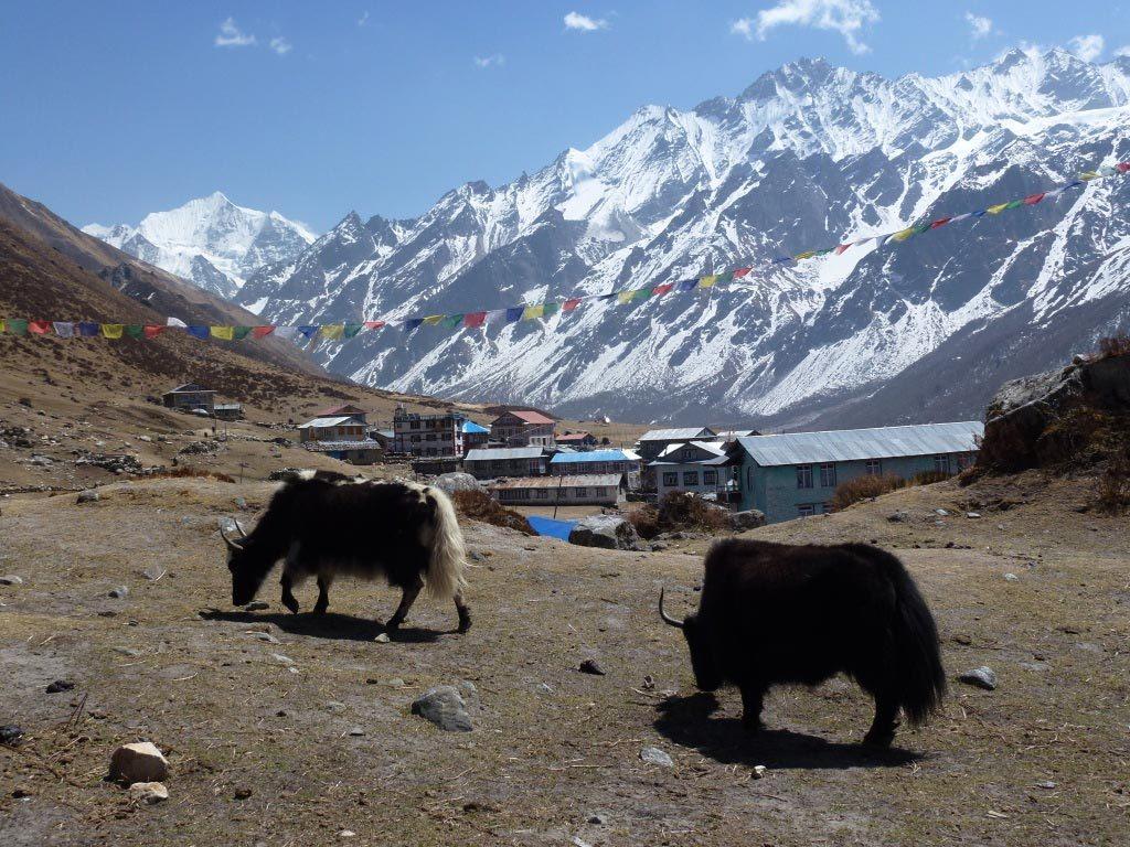 Yaks Herding | Langtang Region | Trekking in Nepa