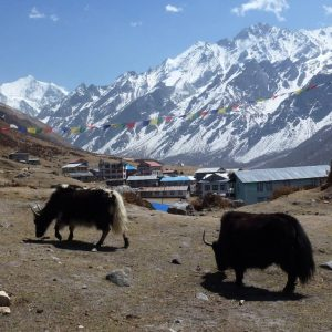Yaks Herding | Langtang Region | Trekking in Nepal